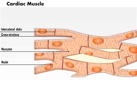 cardiac cell diagram 0614 cardiac images for powerpoint