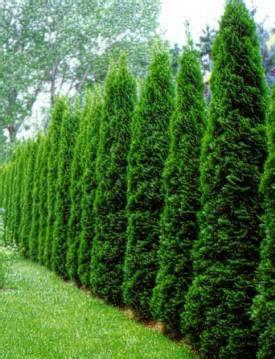 langsam wachsende thuja tuja smaragd tuja z 225 padn 225 smaragd najpred 225 vanejšia