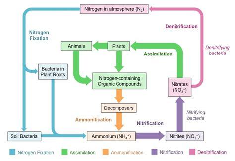 diagram of nitrogen cycle schematic diagram of nitrogen cycle nitrogen cycle