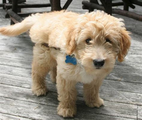 poodle mix with golden retriever best 25 golden retriever poodle mix ideas on mini golden retriever