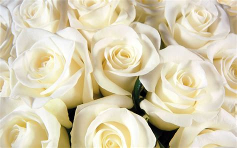 wallpaper flower white rose love rosen wei 223 blume 209018
