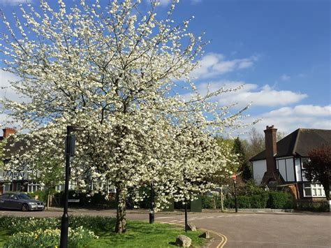 creating a cherry tree walk west acton