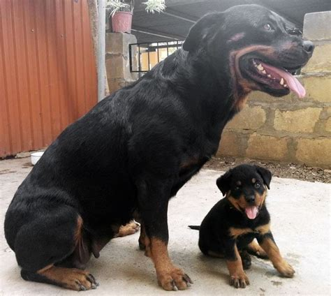 another name for rottweiler image gallery perros rottweiler