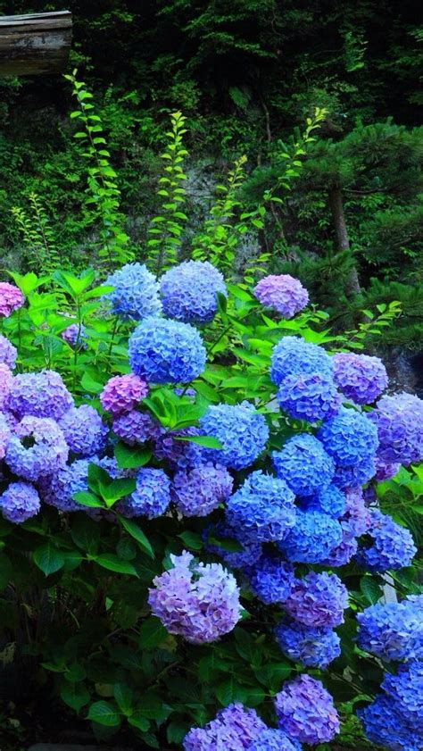 wallpaper flower hydrangea hydrangea flower iphone 5s wallpaper iphone 5 s