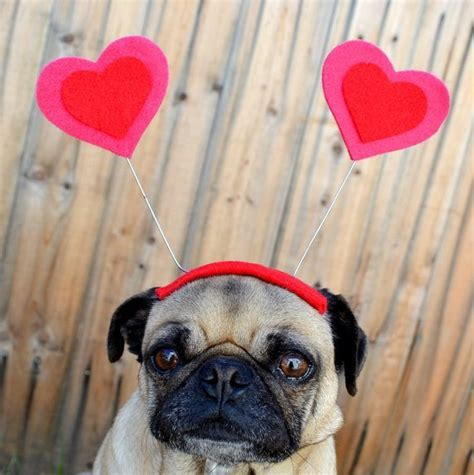 pug hearts seven for your sweetie this s day miami food pug