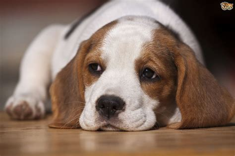 What to expect from the beagle?s behaviour and temperament