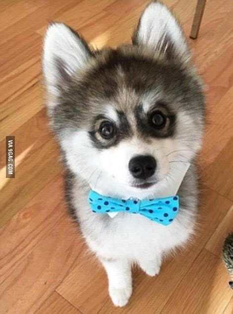 pomeranian husky fox breed of that looks like a puppy forever husky mix breeds picture