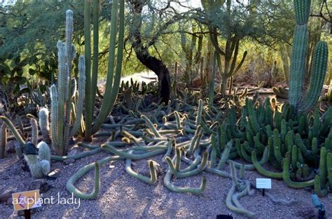 Stanford Botanical Garden A Most Seussical Landscape At The Desert Botanical Gardens In Az Favorite Gardens