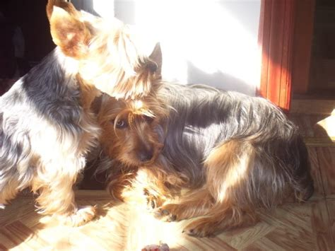 pictures of haircuts for silky terriers silky terrier haircuts photos newhairstylesformen2014 com