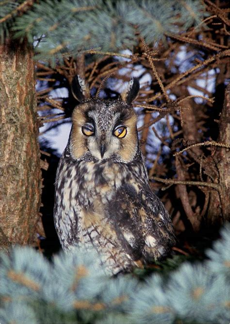 the owls of penn s woods pennsylvania ebird