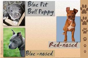 colors of pit bulls stunning facts about the different breeds of pit bulls