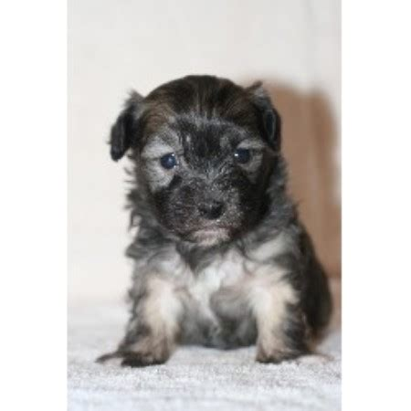 havanese rescue san diego havanese havanese akc havanese puppies for sale in rhode island breeds picture