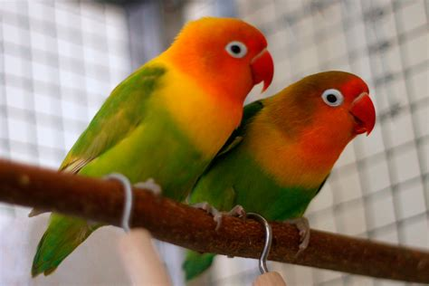 For Lovebird fischer s lovebird housing pet care temperament
