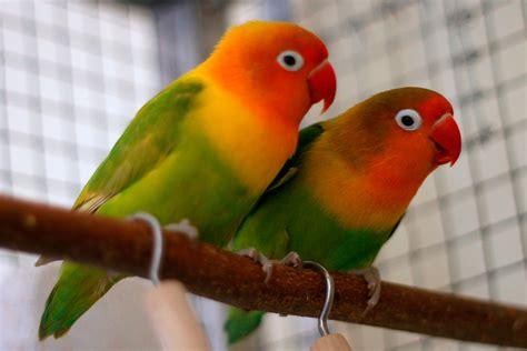 fischer s lovebird housing pet care temperament