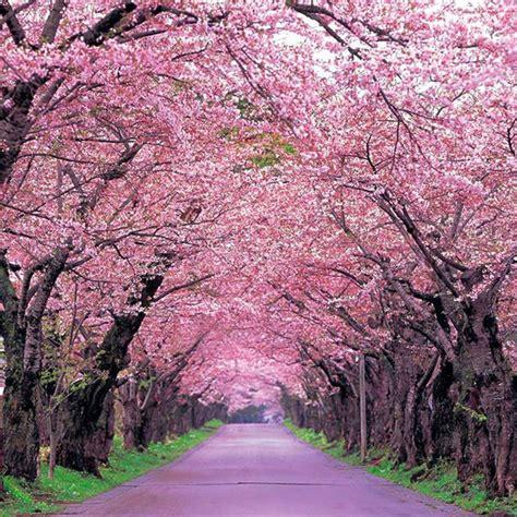 cherry tree stop q fleurs