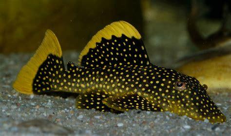 Fish Nugget So new pleco species is splendid aquariums