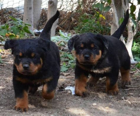rottweilers for sale in rottweiler puppies rottweilers for sale these dogs originated from breeds picture