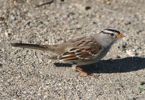 white crowned sparrow zonotrichia leucophyrs