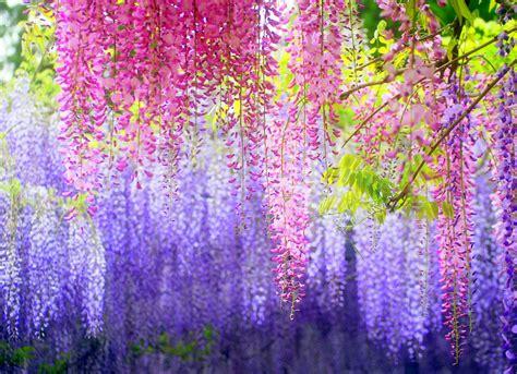 kawachi fuji garden travel trip journey kawachi fuji gardens japan