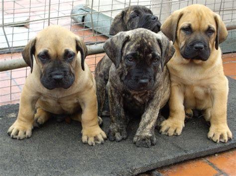 presa puppies perro de presa canario breeds picture