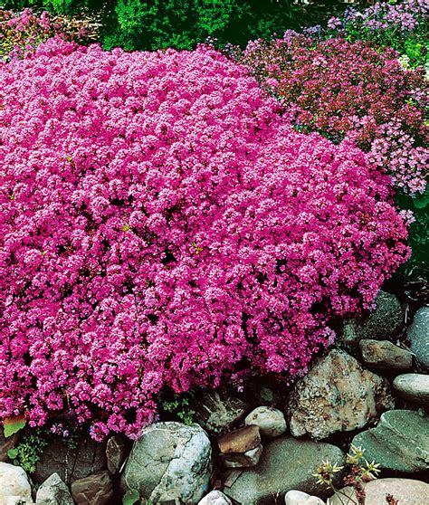 wild thyme thymus serpyllum forms evergreen cushions that spread rapidly and are smothered in
