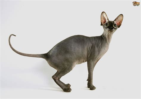 Hairless Cat Breeds   Pets4Homes