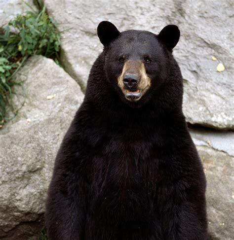 bear s bears alex kim s animals blog