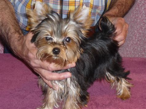 yorkie color change chart us grow and litter 1 2 boy terrier puppies
