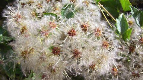 clematis fiore di bach il fiore di bach clematis o clematide