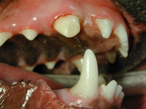 broken tooth after animal dental specialists of upstate new york fayetteville ny