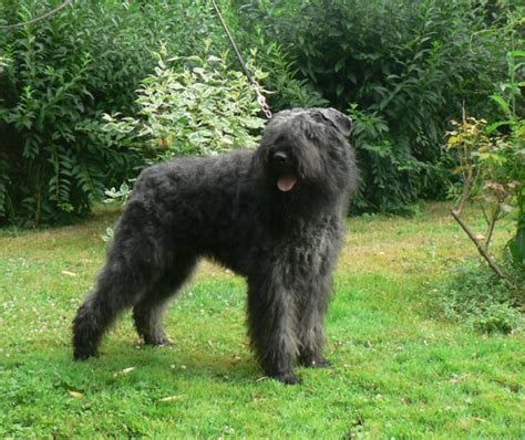 bouvier dogs the in world bouvier des flandres dogs