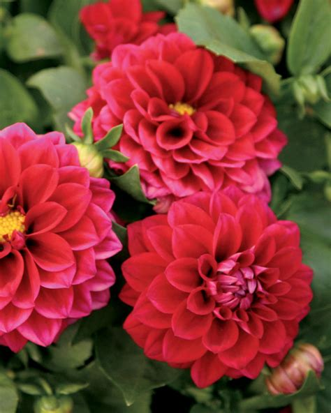 the questionable behavior of dahlia moss a dahlia moss mystery books dalina 174 midi mariana dahlia hybrid proven winners