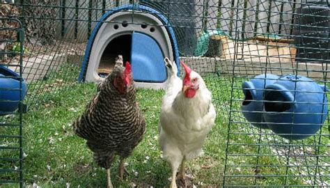 Backyard Chickens Dallas Backyard Chickens Not Clashing With Wildlife In Some
