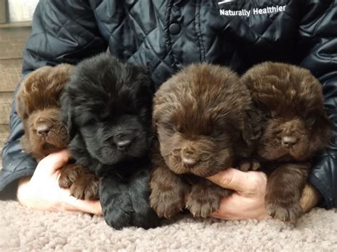 brown newfoundland puppies for sale kc registered black newfoundland puppy northallerton