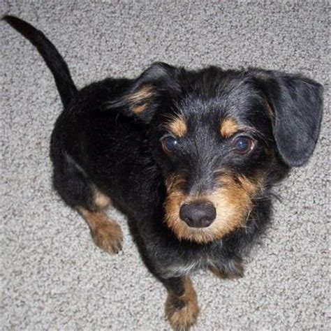 chiweenie yorkie mix puppies chiweenie yorkie mix puppies search animals yorkie the o
