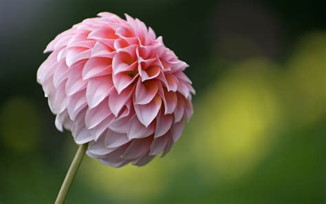 flowers wallpapers dahlias flowers wallpapers