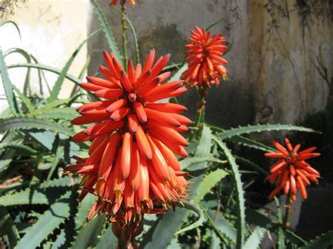 fiori aloe vera aloe in fiore