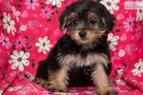 yorkie poo puppies yorkiepoo haircuts newhairstylesformen2014