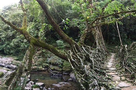 living bridges india s amazing natural bridges are made of living roots