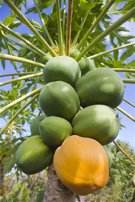 Papaya Garden by Fruits Que J Adore On Plum Tree Figs And Fruit