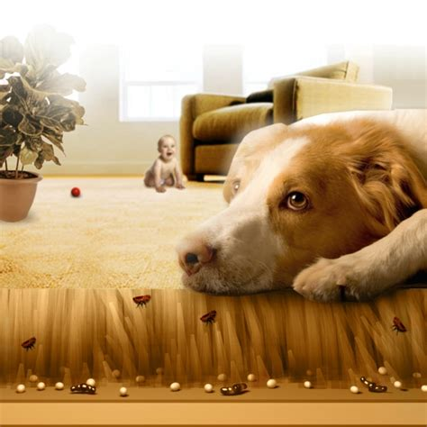 fleas in my house fleabusters rx for fleas of atlanta fleabusters rx for fleas of atlanta
