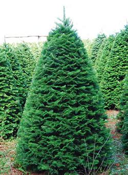 christmas tree needle retention tree species oregon tree growers association