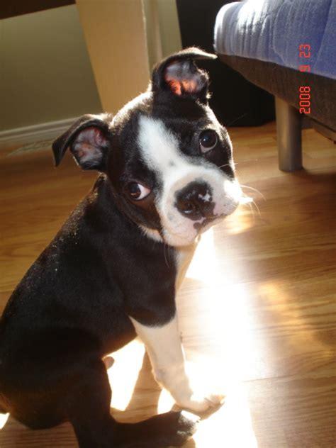 boston terrier puppies for sale in illinois boston terrier puppies for sale terriers in australia design bild
