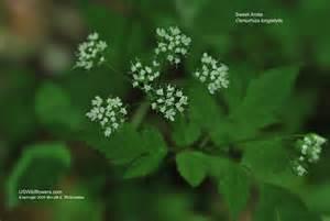 Idaho State Flower - us wildflower longstyle sweetroot sweet anise