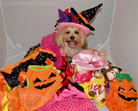 yorkie poo costumes costumes galore yourdesignerdog