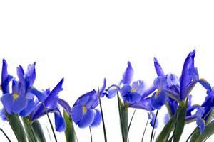 blue iris flower border on isolated white photograph by vizual studio