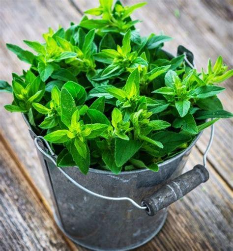 piante per cucina maggiorana pianta in vaso per cucina prezzo e vendita