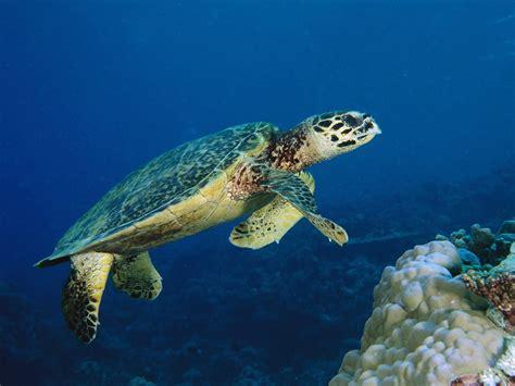 sea animal 2 the hawksbill turtles sea the wildlife