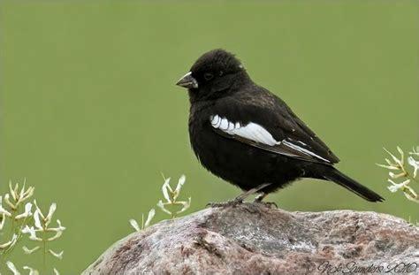 lark bunting co state bird male colorado history