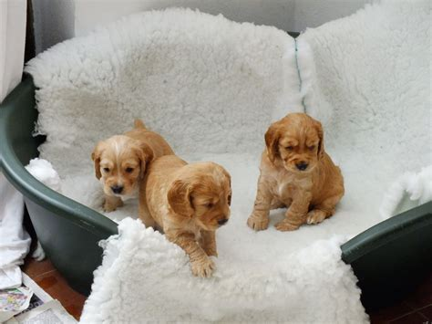 cocker spaniel puppies for sale in working cocker spaniel puppies for sale tewkesbury gloucestershire pets4homes